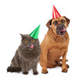 Dog and cat wearing birthday hat and licking lips a large bullmastiff an adult gray sitting against a white backdrop colorful Royalty Free Stock Photography