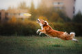 Dog catching disk in jump Royalty Free Stock Photo