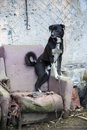 Dog on a chain on an old armchair black and white mongrel damaged Royalty Free Stock Photos
