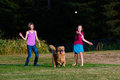 Dog chasing ball a golden retriever a being thrown by a child Royalty Free Stock Image