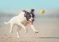 Dog chasing ball Royalty Free Stock Photo