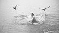 Dog chasing ducks black and white image of a vizsla diving into the water two Stock Photo