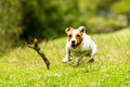 Dog chasing a piece of wood at high speed jack russell parson terrier his toy full low angle fast action shot Stock Photography