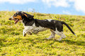 Dog chasing prey female basset hound shot from low angle at full running speed Royalty Free Stock Photos