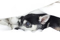 Dog Chihuahua hiding under the quilt Royalty Free Stock Photo