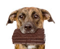Dog With Chocolate In The Mout...