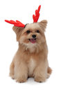 Dog with christmas antler cute mixed breed red isolated in white background clipping path Stock Photos