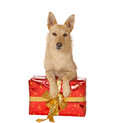 Dog with a Christmas gift Stock Image