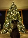 Dog with Christmas Tree