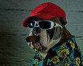 Dog with cigar olde english bulldog sunglasses hat and Stock Photo