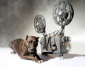 Dog and cinema american staffordshire terrier movie projector with the film Stock Photography