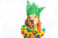 Dog clown jester a golden retriever wearing a colorful polka dot tie and hat Stock Photos