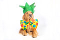 Dog clown jester a happy golden retriever wearing a colorful polka dot tie and hat Royalty Free Stock Photo