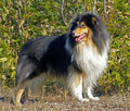 Dog  collie Royalty Free Stock Images