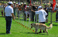 Dog competition and taming challenge ashdod isr july local july dogs perform many useful tasks for humans including hunting farm Royalty Free Stock Photography