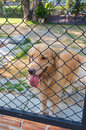Dog confine in cage cute golden retriever Royalty Free Stock Photography