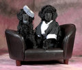 Dog couple standard poodle bride and groom sitting on a couch on pink backdrop weeks old Royalty Free Stock Images