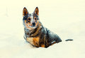 Dog covered with snow Royalty Free Stock Photo