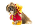 Dog cowboy a shih tzu is dressed as a mexican Stock Photography