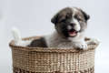 Dog a cute puppy in a basket Stock Image