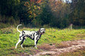 Dog dalmatian black and white standing by the road in the woods and laughing happy Stock Images