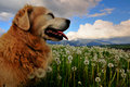 Dog on dandelion meadow Royalty Free Stock Photos