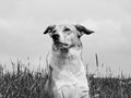 Dog in the dandelion meadow black and white Royalty Free Stock Photography