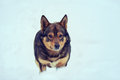 Dog in deep snow Royalty Free Stock Photo