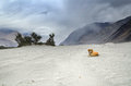 Dog in desert nubra valley ladakh india Stock Photo