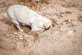 Dog digging his head in the sand Royalty Free Stock Photo