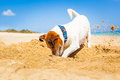 Dog digging a hole Royalty Free Stock Photo