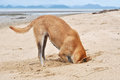 Dog digging sand and his head in sand beach Royalty Free Stock Photo