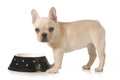 Dog dinner time eating french bulldog puppy eating out of a bowl isolated on white background Royalty Free Stock Photography