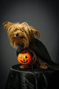 Dog in disguise for Halloween Royalty Free Stock Photo
