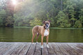 Dog on dock at lake Royalty Free Stock Photo