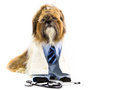 Dog doctor dressed as a a shih tzu wears a shirt tie pants and a s coat Stock Images