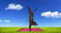 Dog doing yoga funny on the red mat on green grass at blue cloudy sky Royalty Free Stock Images