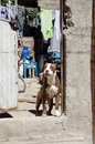 Dog in doorway in mexican village pit bull brown and white standing of house of san juan cosala mexico Stock Photos