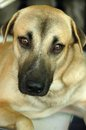 Dog in doubt close up of mixed blood gazing at camera with Stock Photography