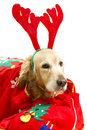 Dog dressed as Santa Claus Royalty Free Stock Photo