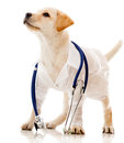 Dog dressed as a vet Stock Photography