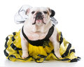 dog dressed like a bee Royalty Free Stock Photo