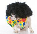 dog dressed like a clown Royalty Free Stock Photo