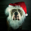 Dog dressed santa claus blue brindle olde englich bulldog to sanat Royalty Free Stock Photography