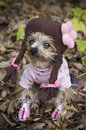 Dog dressed up as school girl little female yorkshire terrier like a Royalty Free Stock Images