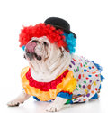 dog dressed up like a clown Royalty Free Stock Photo