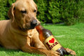 Dog drinking beer tosa inu cute puppy lying on the grass and Royalty Free Stock Photography