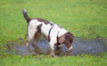 Dog drinking dirty water muddy puddle Stock Photos
