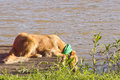 Dog drinking water Royalty Free Stock Images