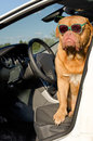 Dog driver inside the car Royalty Free Stock Photo